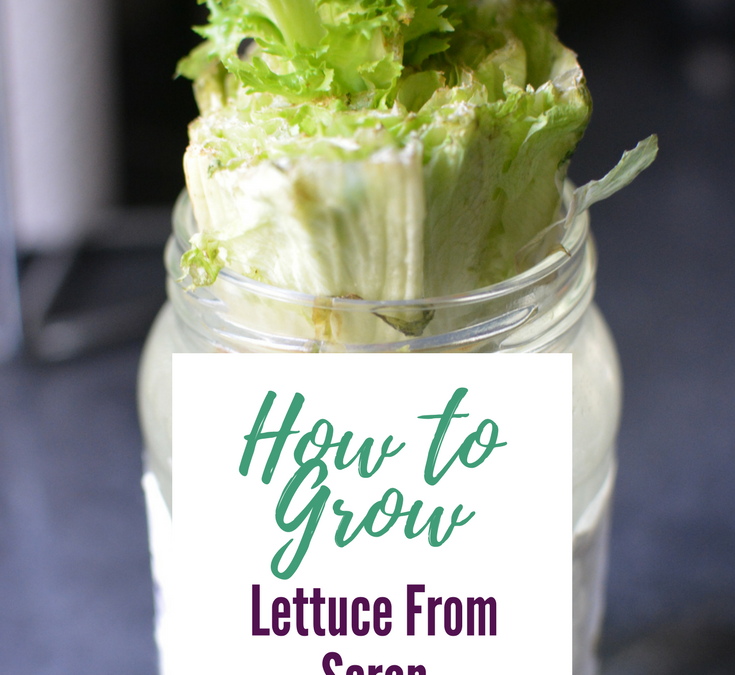 How to Regrow Lettuce From Stem